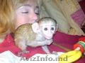 Maimuțe capucine de vânzare
