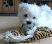 Păpuși drăguți maltezi Pentru adopție
